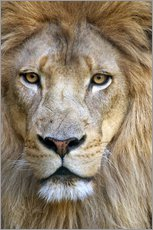 Gallery print  Portrait of a wise lion - Tananarive Aubert