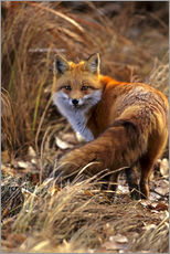 Gallery print  Red Fox looks back - Cathy & Gordon Illg