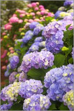 Gallery print  Hydrangea blossom in the garden - Joanne Wells