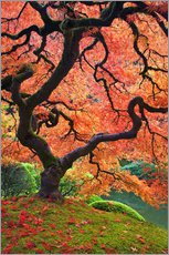 Wall sticker  Japanese maple in autumn - Don Paulson