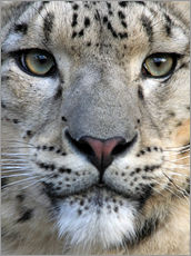 Gallery print  snow leopard - Wolfgang Dufner