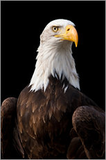 Wall sticker  Bald Eagle - Jan Schuler