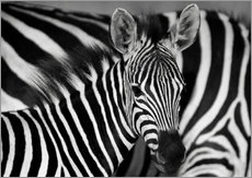 Wall sticker  Zebra black and white - HADYPHOTO by Hady Khandani