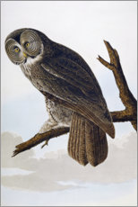 Wall Sticker  Great Cinereous Owl, from 'The Birds of America' - John James Audubon