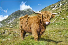 Wall sticker  Scottish Highland Cattle - Olaf Protze