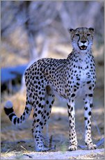 Wall Stickers  cheetah - Pete Oxford