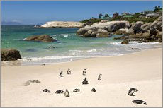 Wall Stickers  Penguins at Boulders Beach - Paul Thompson