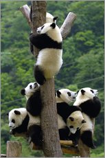 Gallery print  Panda babies on the climbing tree - Pete Oxford