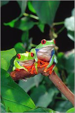 Wall sticker  Rotaugenlaubfrosch-couple - David Northcott