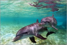 Wall sticker  Two bottlenose dolphins from the beaches of the Caribbean - Stuart Westmorland