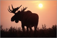 Wall sticker  Moose at sunset - Steve Kazlowski