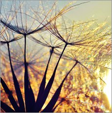 Gallery print  Dandelion in the sunset III - Julia Delgado