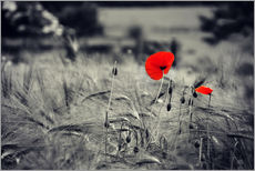 Gallery print  Red poppies in a cornfield - Julia Delgado