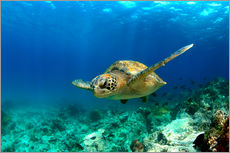 Gallery print  Green sea turtle under water - Paul Kennedy
