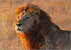 Gallery print  Lion in the evening light - Africa wildlife - wiw