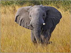 Wall sticker  Elephant in the gras - Africa wildlife - wiw