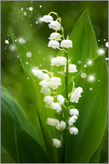 Wall sticker  Lily of the valley - Steffen Gierok