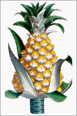 Gallery print  Pineapple, 1789.