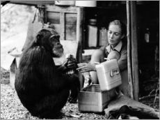 Gallery print  Jane Goodall with chimp, David Greybeard