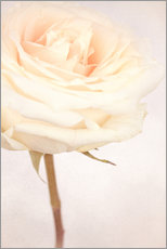 Gallery print  WHITE WEDDING ROSE - INA FineArt