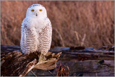 Wall sticker  Snowy owl on a tree - Art Wolfe