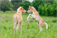 Gallery print  Haflinger foals playing and rearing - Katho Menden