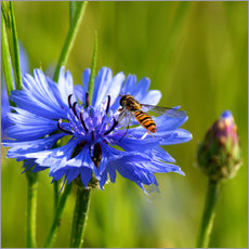 Wall sticker  Cornflower with hoverfly - Atteloi