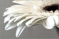 Wall Stickers  White Gerbera with drops - Susanne Herppich
