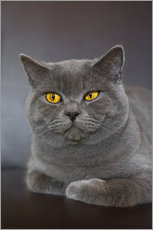 Wall sticker  British Shorthair 7 - Heidi Bollich