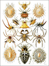 Wall sticker  Arachnida - Ernst Haeckel