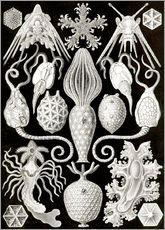 Wall sticker  Amphoridea - Ernst Haeckel