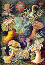 Wall sticker  Actiniae - Ernst Haeckel
