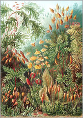 Wall Stickers  Muscinae - Ernst Haeckel