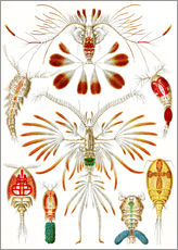 Wall sticker  Copepoda - Ernst Haeckel