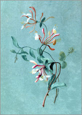 Gallery print  Honeysuckle - Pierre Joseph Redouté