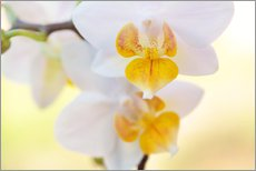 Gallery print  White orchids against soft yellow background - Julia Delgado