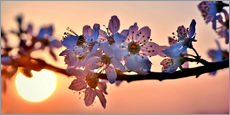 Gallery print  Cherry blossoms against evening under the setting sun - Julia Delgado