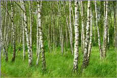 Gallery print  Birch forest - Atteloi