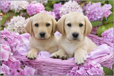 Gallery print  Labrador puppies in a basket - Greg Cuddiford