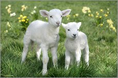 Wall sticker  Easter lambs - Greg Cuddiford