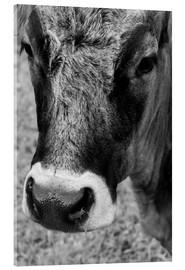 Acrylic print  Cow - Walter Quirtmair