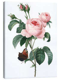 Canvas print  Rose of a Hundred Petals - Pierre Joseph Redouté