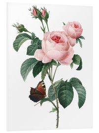 Foam board print  Rose of a Hundred Petals - Pierre Joseph Redouté