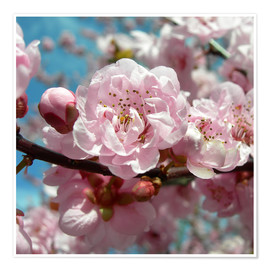 Premium poster  Cherry Blossoms - blackpool
