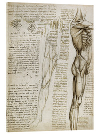 Leonardo da Vinci - The muscles