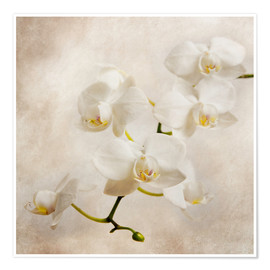 Premium poster  White orchid - Hannes Cmarits