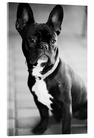 Acrylic print  French Bulldog - Falko Follert