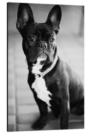 Aluminium print  French Bulldog - Falko Follert