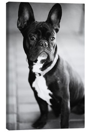 Canvas print  French Bulldog - Falko Follert