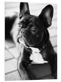 Foam board print  French Bulldog - Falko Follert